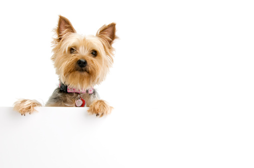 Females「Silky Terrier」:スマホ壁紙(6)