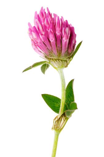 Wildflower「Red Clover Flower Isolated On White」:スマホ壁紙(3)