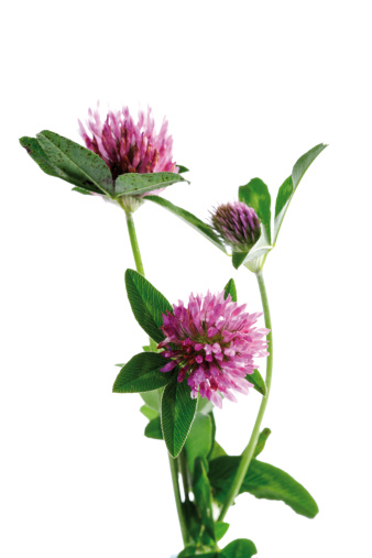 四葉のクローバー「'Red clover (Trifolium pratense), close-up'」:スマホ壁紙(2)