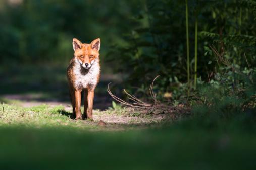 Red Fox「Red fox on forest track」:スマホ壁紙(18)