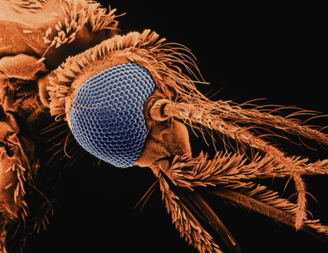 Ugliness「SEM of Anopheles species mosquito, carrier of malaria parasite x70」:スマホ壁紙(7)