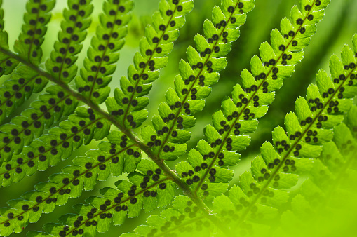 Frond「Male fern (Dryopteris filix-mas)」:スマホ壁紙(0)