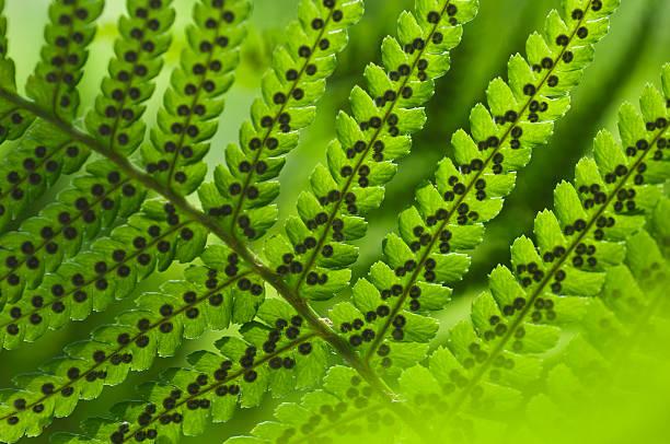 Male fern (Dryopteris filix-mas):スマホ壁紙(壁紙.com)