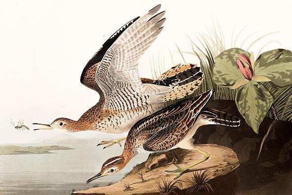 Beak「Bartram Sandpiper」:写真・画像(16)[壁紙.com]