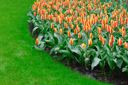Keukenhof Gardens「Holland, Lisse, Keukenhof Gardens, tulips (Tulipa sp.)」:スマホ壁紙(5)