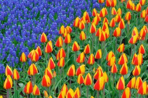 Keukenhof Gardens「Holland, Lisse, Keukenhof Gardens, tulips (Tulipa sp.), elevated view」:スマホ壁紙(6)