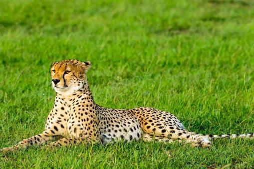 African Cheetah「Cheetah Resting」:スマホ壁紙(10)