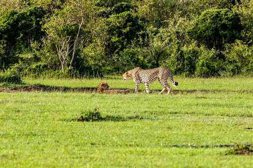 African Cheetah「Cheetah Resting」:スマホ壁紙(13)