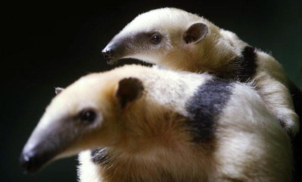 動物「Baby Tamandua Placed On Display To The Public For The First Time」:写真・画像(0)[壁紙.com]