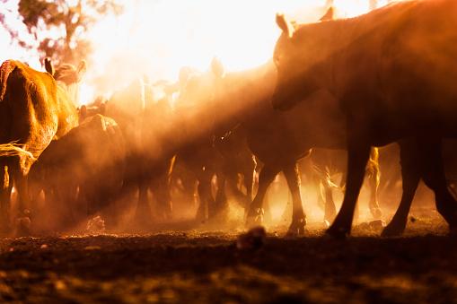 Queensland「Herd of cattle in outback, Dulacca, Queensland, Australia」:スマホ壁紙(15)
