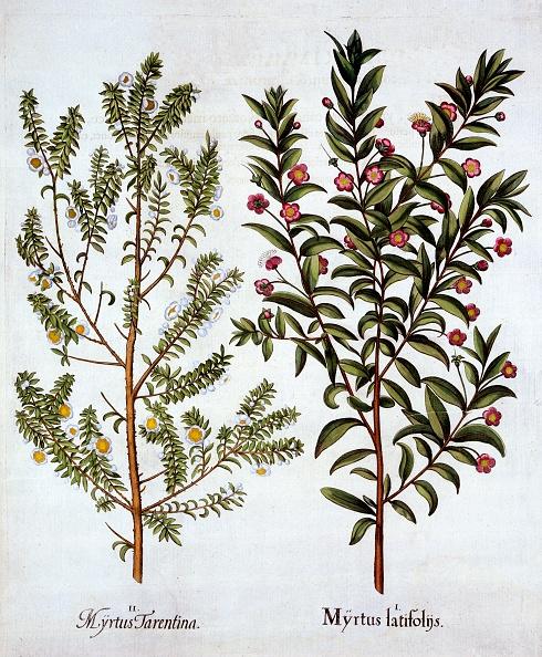 Seasoning「Myrtle Varieties」:写真・画像(5)[壁紙.com]