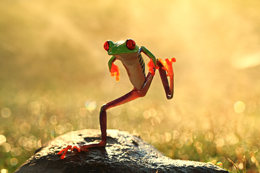 かわいい「Indonesia, Riau Islands, Batam City, Dancing frog」:スマホ壁紙(0)