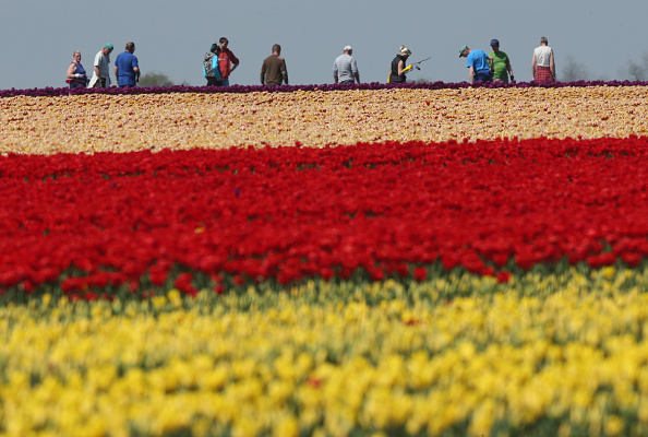 flower「Tulip Fields Blossom Near Magdeburg」:写真・画像(12)[壁紙.com]