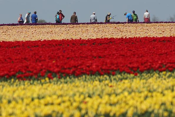 花畑「Tulip Fields Blossom Near Magdeburg」:写真・画像(9)[壁紙.com]