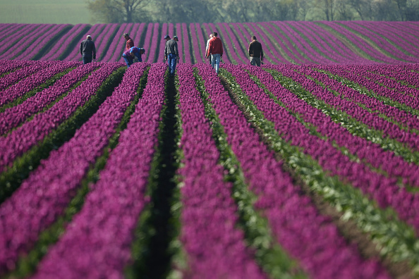 In A Row「Tulip Fields Blossom Near Magdeburg」:写真・画像(10)[壁紙.com]