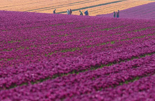 花畑「Tulip Fields Blossom Near Magdeburg」:写真・画像(10)[壁紙.com]