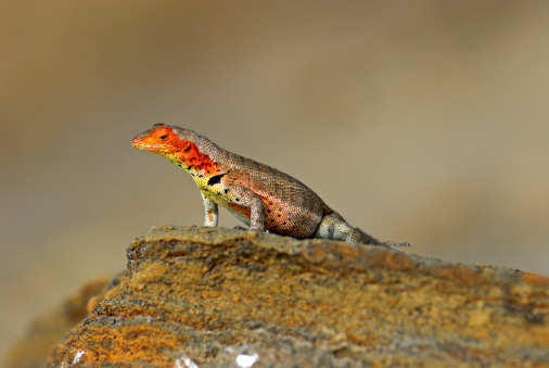 ガラパゴス諸島「Lava Lizard (Microlophus albemarlensis) on rock」:スマホ壁紙(17)
