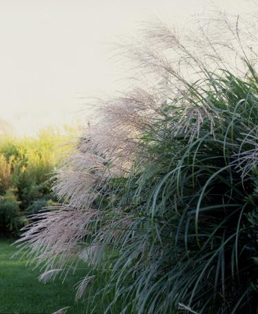 Inflorescence「Ornamental grass」:スマホ壁紙(17)