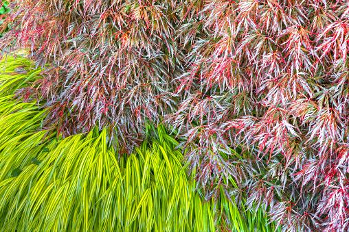 Japanese Maple「Ornamental garden grass, Japanese Maple」:スマホ壁紙(17)