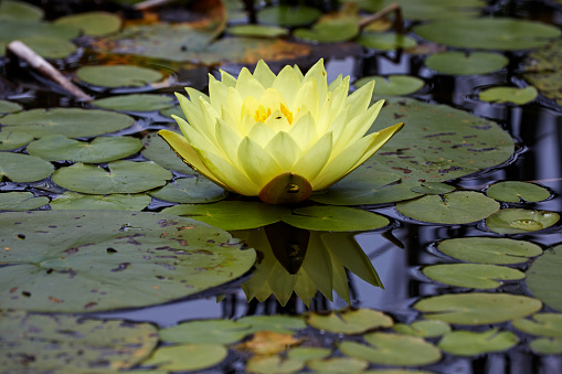 Water Lily「Ornamental Waterlily Nymphaea sp 'Joey Tomocik' cultivar in pond - Bavaria/Germany」:スマホ壁紙(16)