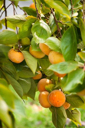 柿「Asian Persimmons Ripening on a Tree」:スマホ壁紙(2)