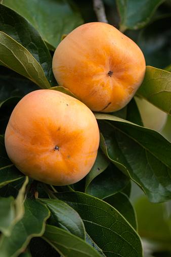 柿「Asian Persimmons Ripening on a Tree」:スマホ壁紙(0)
