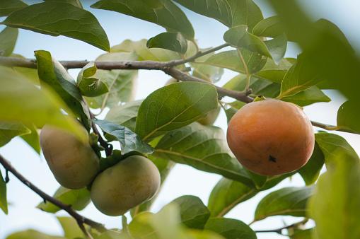 柿「Asian Persimmons Ripening on a Tree」:スマホ壁紙(1)