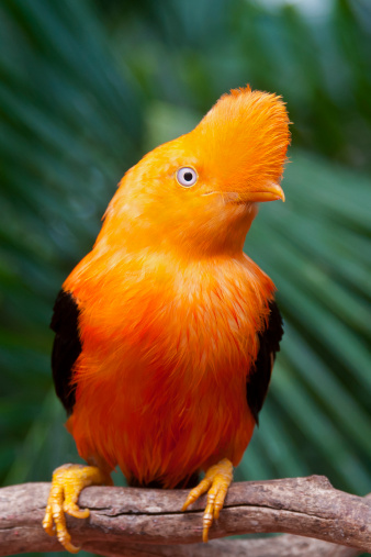 Bolivian Andes「Andean cock-of-the-rock (Rupicola peruvianus) on perch.」:スマホ壁紙(6)