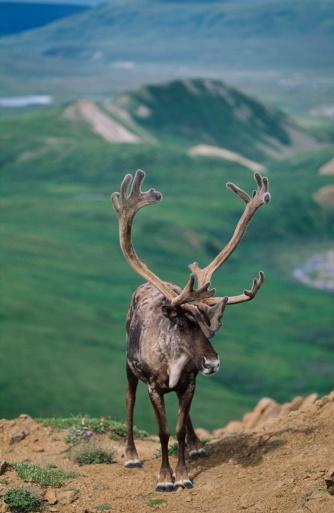 ベロア「Caribou Bull (Rangifer Tarandus) With Velvet Antlers」:スマホ壁紙(1)