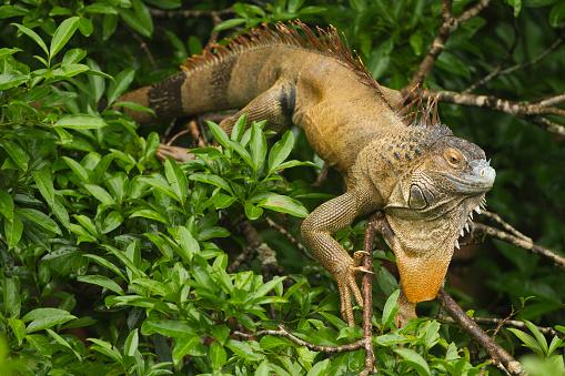 Green Iguana「Common Tree Iguana_Joe_6990」:スマホ壁紙(16)