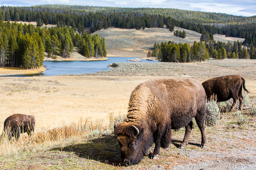 Cattle「Bison grazing in meadow in Yellowstone National Park, Wyoming, USA」:スマホ壁紙(13)