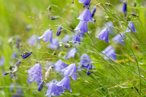 Bluebell「Bellflower, Campanula rotundifolia close-up」:スマホ壁紙(15)