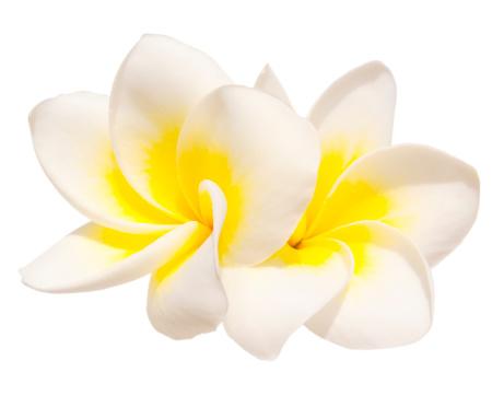 プルメリア「2 つのフランジパニの花」:スマホ壁紙(11)