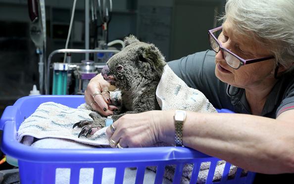 Port Macquarie「Koala Hospital Works To Save Injured Animals Following Bushfires Across Eastern Australia」:写真・画像(19)[壁紙.com]