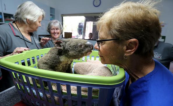 Animal Themes「Koala Hospital Works To Save Injured Animals Following Bushfires Across Eastern Australia」:写真・画像(9)[壁紙.com]