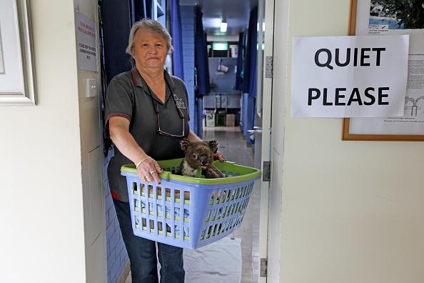 Port Macquarie「Koala Hospital Works To Save Injured Animals Following Bushfires Across Eastern Australia」:写真・画像(13)[壁紙.com]