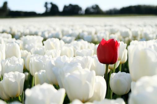 花畑「白背景に赤いチューリップ」:スマホ壁紙(3)