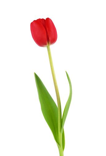 チューリップ「赤いチューリップの芝生」:スマホ壁紙(13)