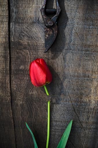 チューリップ「Red tulip on wood, pruner, flower head, cut」:スマホ壁紙(19)