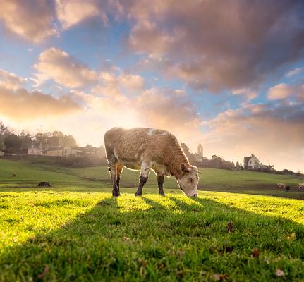 Cow「Hereford Cattle」:スマホ壁紙(13)
