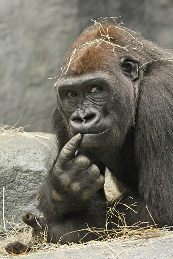 Gorilla「The Thinker」:スマホ壁紙(15)