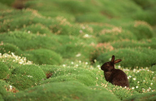 うさぎ「Rabbit, Oryctolagus cuniculus,  black variety on Skomer Is., Wales」:スマホ壁紙(17)