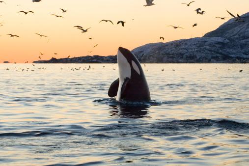 Whale「Big Orca Sunset Spyhop」:スマホ壁紙(7)