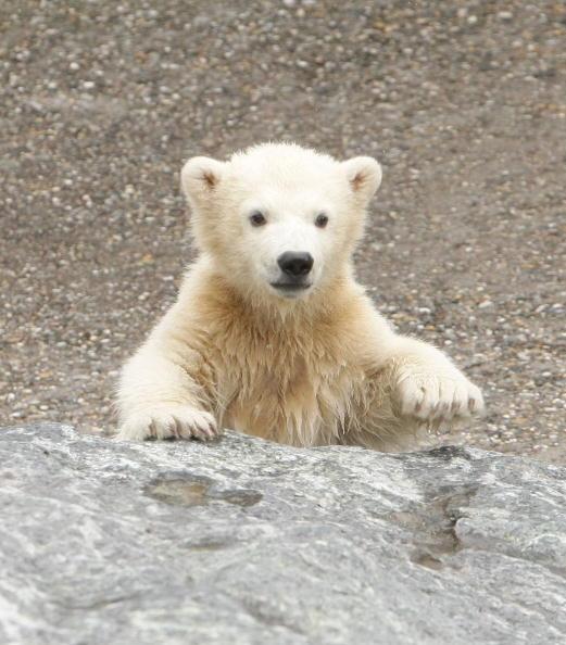 Bear Cub「Polar Bear Cub Wilbear Makes His First Steps In The Outdoor Enclosure」:写真・画像(14)[壁紙.com]