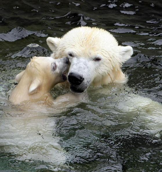 Bear Cub「Polar Bear Cub Wilbear Makes His First Steps In The Outdoor Enclosure」:写真・画像(15)[壁紙.com]