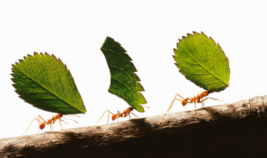 Conformity「Three leafcutter ants (atta cephalotes) carrying leaves, close-up」:スマホ壁紙(5)