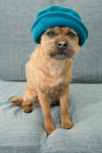 Beret「Border Terrier, wearing hat, Norfolk UK」:スマホ壁紙(8)