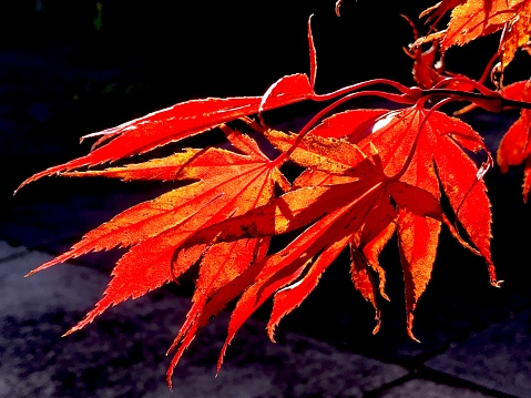 Japanese Maple「Red leaves of Japanese Maple Tree in fall, Portland, Oregon」:スマホ壁紙(7)
