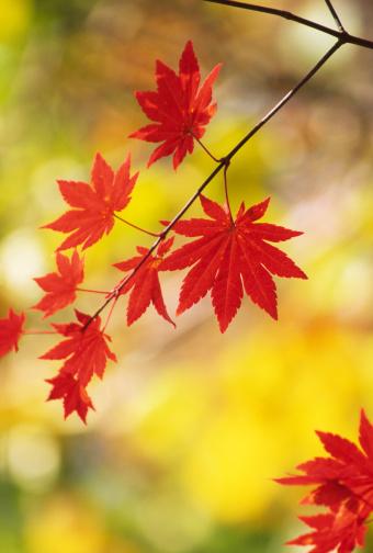 Japanese Maple「Red leaves」:スマホ壁紙(10)