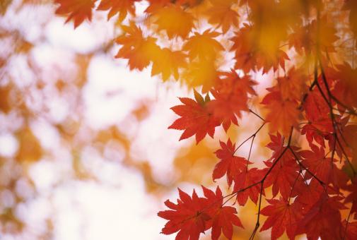 Japanese Maple「Red leaves」:スマホ壁紙(6)
